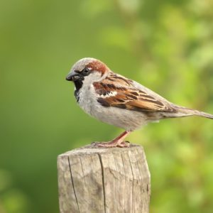 Sparrow Control Repellents