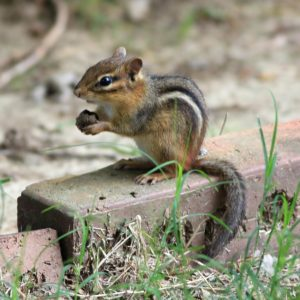 Chipmunk Traps Removal