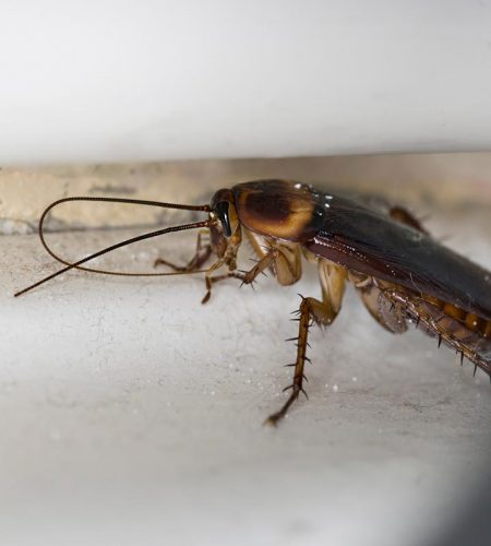 American Cockroach in house.