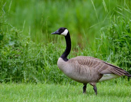 Canadian Goose on grass.