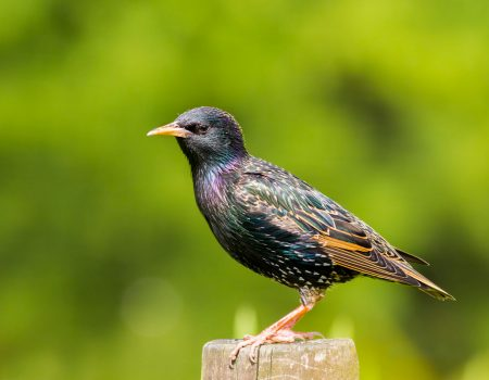Common Starling standing on a post.