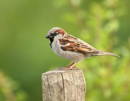 Sparrow on a post.