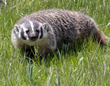 american badger in grass.