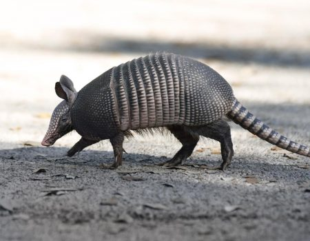 armadillo crossing a road.