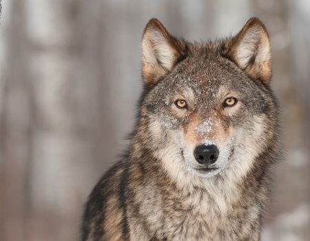 Gray Wolf or Timber Wolf looking at camera.