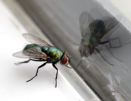 house Fly with green body.