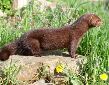 mink standing on a rock.