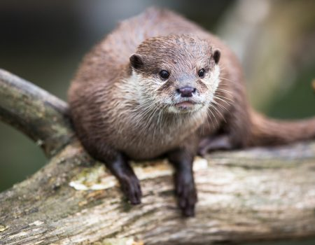 Otter sitting on a log.