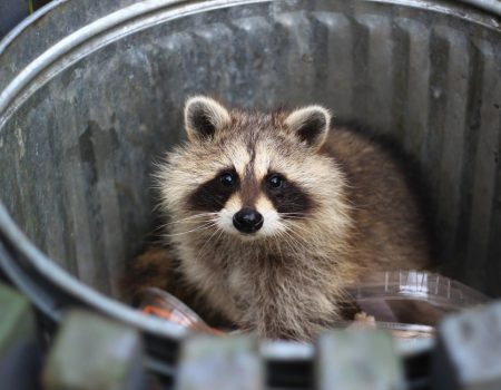 raccoon in trash can.
