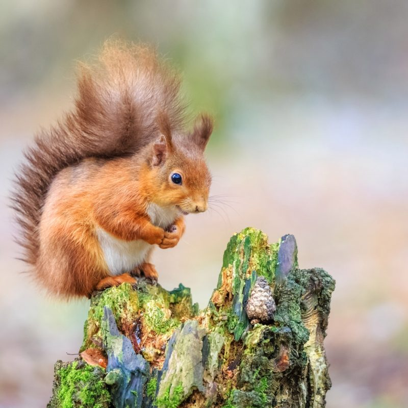 red-squirrell