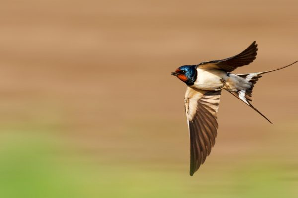 swallow bird in flight.