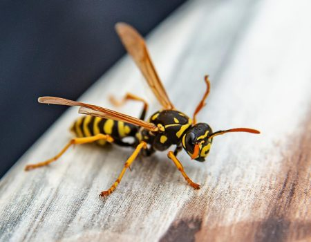 Wasp on furniture.