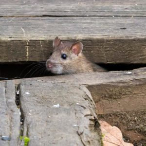 Rodent Control Rats & Mice