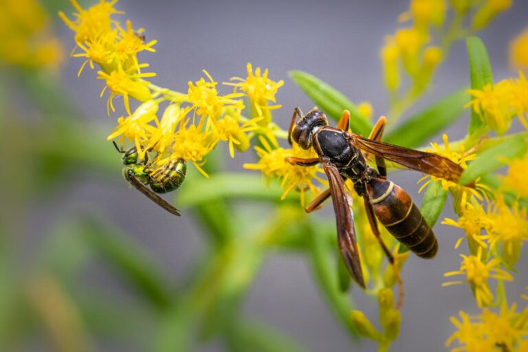 Brown Paper Wasp.