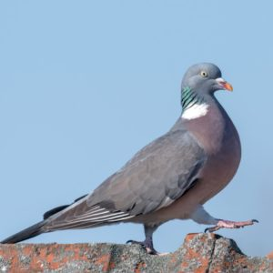 Pigeon Control Repellents