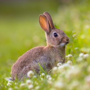 Rabbit Traps Repellents