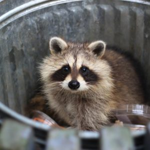 Raccoon Traps Removal