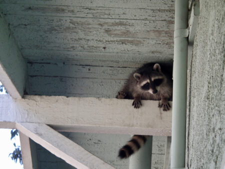 raccoon in rafters.